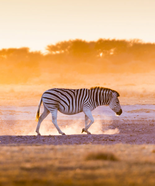 Zebra Sunset Africa